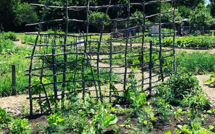 Community garden with vegetables and a fence made of small branches.