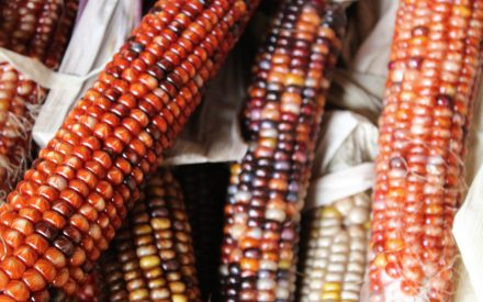 native corn in dark reds and orange colors